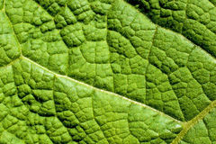 Closeup of a burdock leaf Royalty Free Stock Image