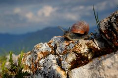 Closeup of Burgundy snail Royalty Free Stock Photo
