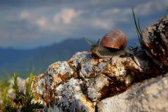 Closeup of Burgundy snail. Closeup shot of Burgundy (Roman) snai on the mountain rock Royalty Free Stock Photo
