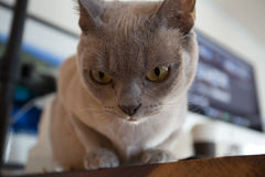 Closeup of Burmese house cat peering intently down at a toy. Closeup of Burmese house cat`s face  peering intently at a toy below Royalty Free Stock Images