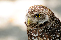 Closeup of a Burrowing Owl Stock Images