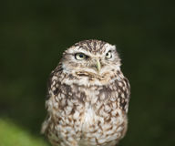 Closeup of burrowing owl Stock Image