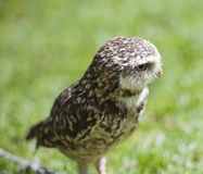 Closeup of burrowing owl Royalty Free Stock Photo