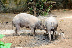 Closeup of a Buru Babirusa eating Royalty Free Stock Photos