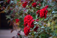 Closeup of a bush of beautiful red roses with dark green leaves. Summer roses royalty free stock photos