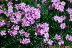 The closeup of the bush of pink carnations Dianthus japonicus. Stock Photo