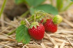 Closeup bush of strawberries Stock Photo