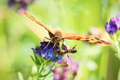 Closeup of a butterflies proboscis feeding on a flower.  Royalty Free Stock Photos