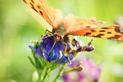 Closeup of a butterflies proboscis feeding on a flower.  Royalty Free Stock Photo