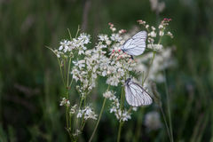 Closeup butterflies on white little flowers Royalty Free Stock Photo