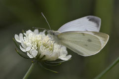 Closeup of a butterfly. Sitting on a flower Royalty Free Stock Photos
