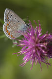 Closeup of a butterfly. Sitting on a flower Royalty Free Stock Photo