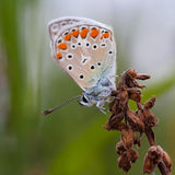 Closeup of a butterfly. Sitting on a flower Royalty Free Stock Photography