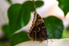 Closeup of a butterfly with beautiful markings. Resting on a table royalty free stock images
