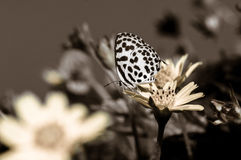 Closeup butterfly.big butterfly sitting on green leaves, beautif Royalty Free Stock Photography