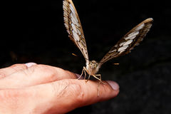 Closeup butterfly climb on hand Royalty Free Stock Photography