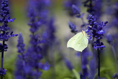 Closeup of a butterfly in a field of purple salvia Royalty Free Stock Images