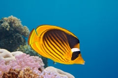 Closeup of butterfly fish - underwater shot. Closeup of Butterfly fish - Chaetodon austriacus - Underwater shot, Red Sea, Sinai, Egypt royalty free stock photo