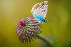 Closeup butterfly on flower. Blue butterfly blossoms in sunset at the spring nature macro photo Royalty Free Stock Photography