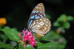 Closeup butterfly on flower. Blue tiger butterfly stock photography