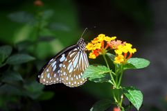 Closeup butterfly on flower. Blue tiger butterfly royalty free stock photo