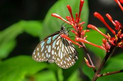 Closeup butterfly on flower. Blue tiger butterfly royalty free stock photography