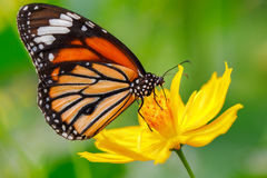 Closeup butterfly on flower. (Common tiger butterfly royalty free stock photos
