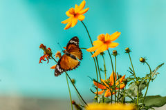Closeup butterfly on flower Common tiger butterfly Stock Photos