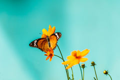Closeup butterfly on flower (Common tiger butterfly) Stock Photos