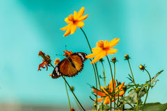 Closeup butterfly on flower (Common tiger butterfly) Stock Photo