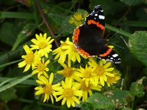 Closeup butterfly on flower Common tiger butterfly Royalty Free Stock Photos