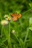 Closeup butterfly on flower (Common tiger butterfly) Stock Photography
