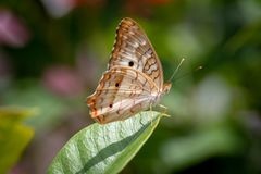 Closeup butterfly on flower. Isolated butterfly. Macro. royalty free stock image