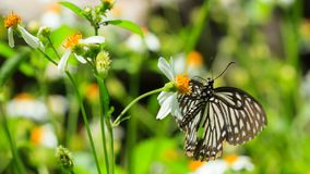 Closeup butterfly on flower. Spotted Zebra or Graphium megarus royalty free stock images