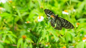 Closeup butterfly on flower. Spotted Zebra or Graphium megarus stock images