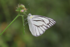 Closeup butterfly on flower. White butterfly Stock Images