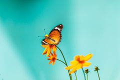 Closeup butterfly on flower (Common tiger butterfly) Royalty Free Stock Photography