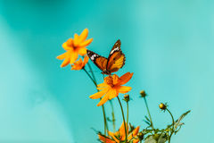 Closeup butterfly on flower (Common tiger butterfly) Royalty Free Stock Image