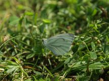Closeup of a butterfly on the grass. Gray butterfly on a sunny day royalty free stock photography
