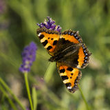 Butterfly on lavender Stock Photos