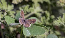 Closeup of  a butterfly on a leaf. Closeup of butterfly on  a leaf of four-leaf clover royalty free stock photography