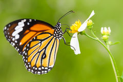 Free Closeup Butterfly On Flower Royalty Free Stock Photography - 27345247