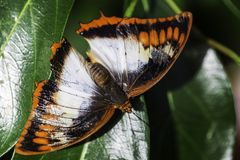 Butterly with orange, black and white wings Royalty Free Stock Photo