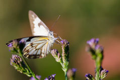 Closeup butterfly on purple flowers royalty free stock photo