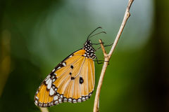 Closeup butterfly on Twigs (Common tiger butterfly) Stock Images