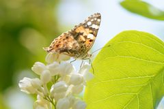 Closeup of butterfly on white lilac flower.  royalty free stock photography