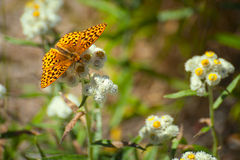 Closeup of a Butterfly on Wildflowers. Closeup of an orange and brown butterfly sipping nectar form a blossom of a wildflower while hiking in Gifford Pinchot stock photography