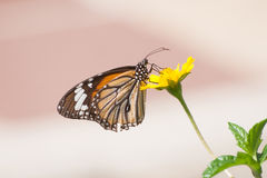 Closeup of butterfly. Royalty Free Stock Photo