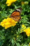 Closeup butterfly on Yellow flower Stock Photography