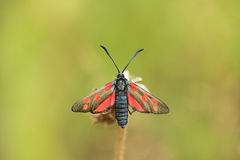 Closeup of butterfly - Zygaena trifolii Stock Photography